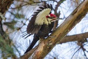 Pileated Woodpecker - Dryocopus pileatus Peachtree Park, Atlanta, GA - November 15, 2014