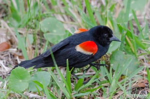 Red-winged Blackbird - Agelaius phoeniceus St. Simons Island, GA - April 30, 2015