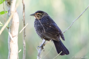 Red-winged Blackbird (female) - Agelaius phoeniceus St. Simons Island, GA - May 2, 2015