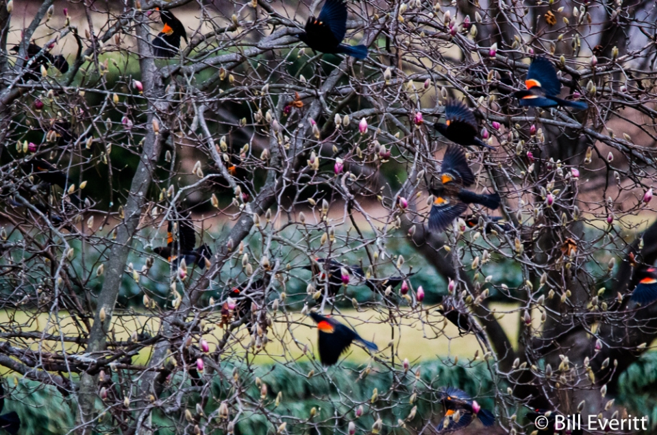 Red-winged Blackbird - Agelaius phoeniceus Peachtree Park, Atlanta, GA - February 1, 2016