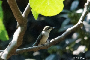 Ruby-throated Hummingbird - Archilochus colubrids Atlanta, GA - Peachtree Park - July, 2015