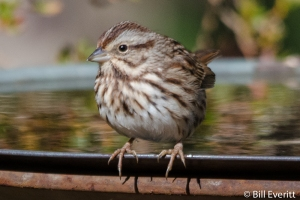 Song Sparrow - Melospiza melodia Peachtree Park, Atlanta, GA - December, 2015