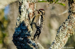 Yellow-bellied Sapsucker - Sphyrapicus varius Jekyll Island, GA - January 12, 2016