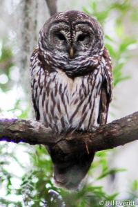 Barred Owl - Strix varia Okefenokee National Wildlife Refuge - November, 2006