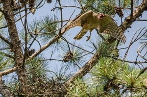 Cooper's Hawk - Accipiter cooperiiPeachtree Park, Atlanta, GA - June, 2016