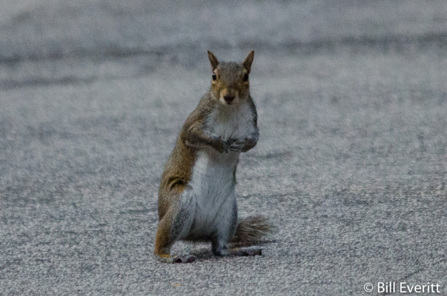 Eastern Gray Squirrel crossing the street
