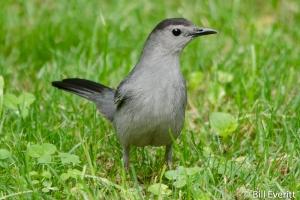 Gray Catbird - Dumetella carolinensis Atlanta, GA - Peachtree Park - May 14, 2014