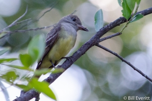 Great Crested Flycatcher - Myiarchus crinitus Atlanta, GA - Peachtree Park - June 2, 2012