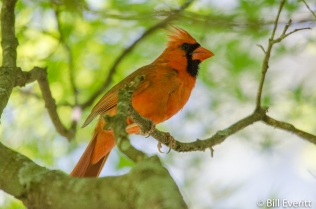 Northern Cardinal - Cardinalis cardinali