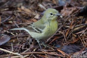 Pine Warbler - Setophaga pinusAtlanta, GA - Peachtree Park - February, 2013