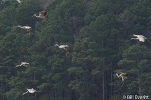 Sandhill Cranes - Grus canadensis Fields Landing, Lake Allatoona, GA - December, 2013