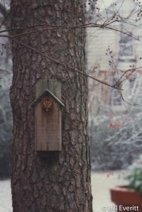 Eastern Screeech-Owl
