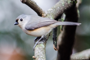 Tufted Titmouse - Baeolophus bicolor Atlanta, GA - Peachtree Park - February, 2013
