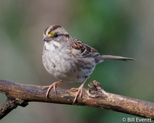 White-throated Sparrow - Zonotrichia albicollis Atlanta, GA - Peachtree Park - February, 2013