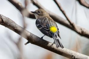Yellow-rumped Warbler - Dendroica coronata Peachtree Park, Atlanta, GA - November, 2015
