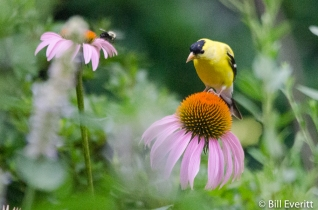 American Goldfinch on Coneflower