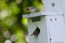 Carolina Wrens with a brood in one of the Nature Trail birdhouses