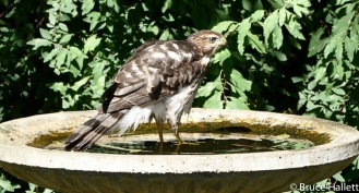 Juvenile Cooper's Hawk in Mr. Hallett's Bird Bath