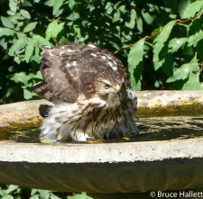 Juvenile Cooper's Hawk in Mr. Hallett's Bird Bath