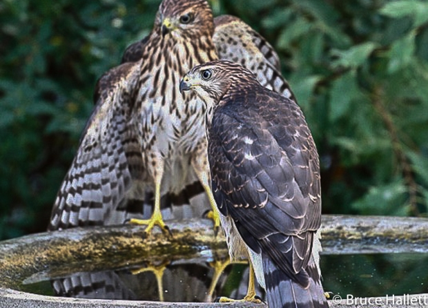 Cooper's Hawk juveniles in a bird bath