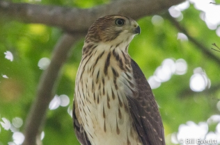 Cooper's Hawk right outside the door