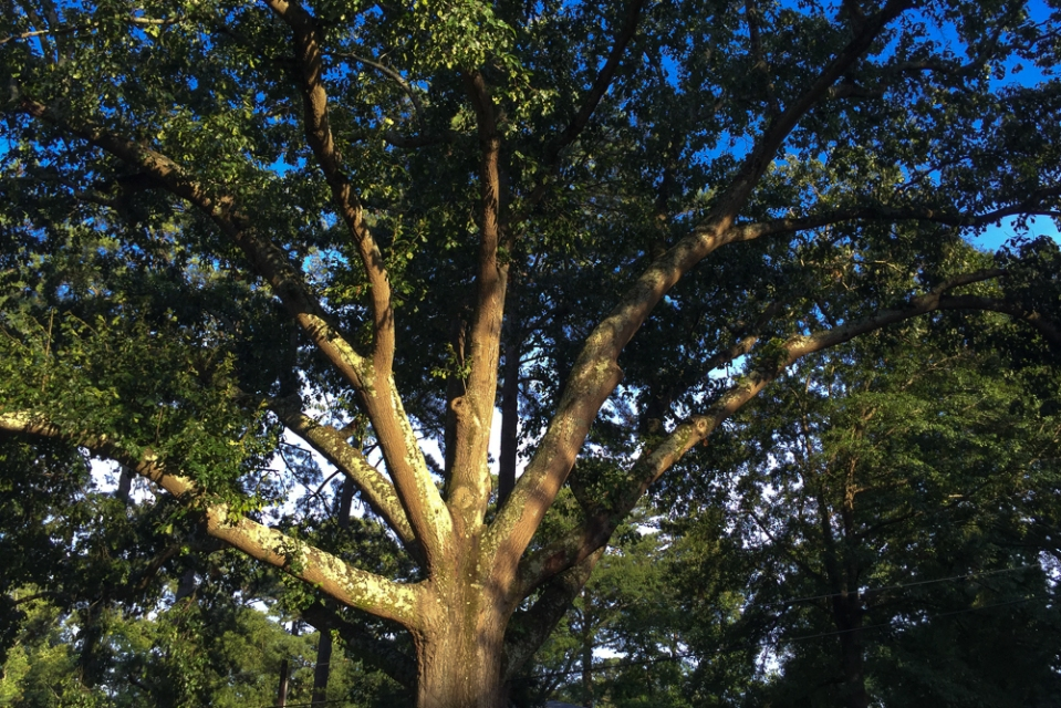 Old growth Oak in Peachtree Park