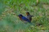 Eastern Bluebird juvenile begging