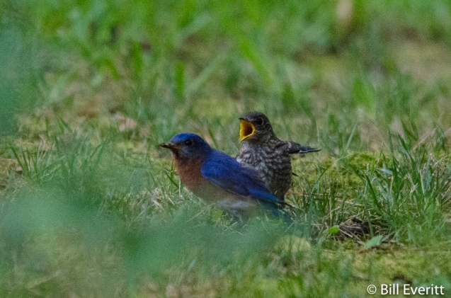 Eastern Bluebird juvenile begging