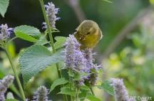 America Goldfinch female