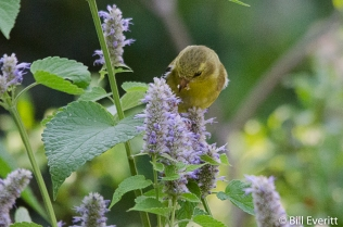 America Goldfinch female