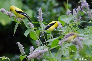 American Goldfinches - 2 males and a female
