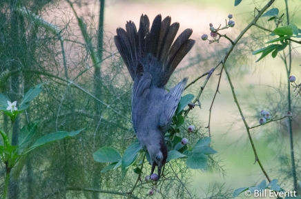 Gray Catbird in the blueberries