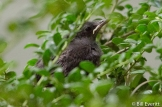Gray Catbird juvenile stranded in the boxwood