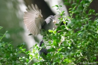 Gray Catbird feeding the stranded juvenile