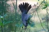 Gray Catbird eating blueberries