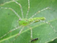 Green_lynx_spider