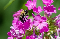 Native Bee