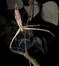 Ogre-Faced Spider