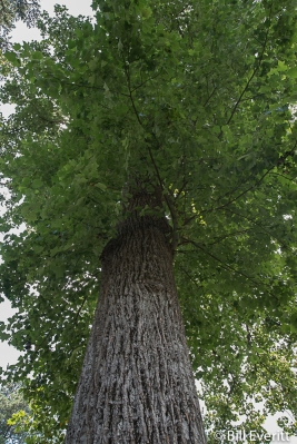 Tulip Poplar on Greenview Ave