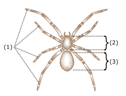 Spider-characteristics