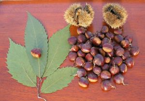 american-chestnut-leaves-and-nuts