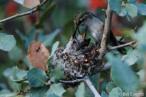 Anna's Hummingbird - Calypte anna Desert Museum, Tuscon, AZ - March 2010