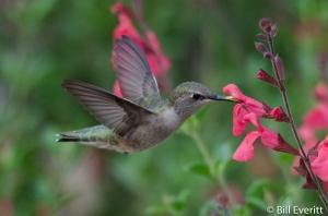 Black-chinned Hummingbird - Archilochus alexandri Lady Bird Johnson Wildflower Center, Austin TX - April 7, 2015