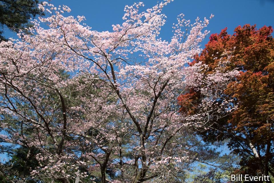 Flowering Doogwood
