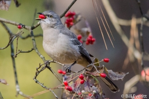 Northern Mockingbird eating fall dogwood berries