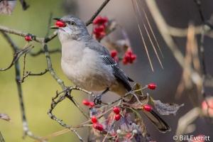 Northern Mockingbird eating fall dogwood berries