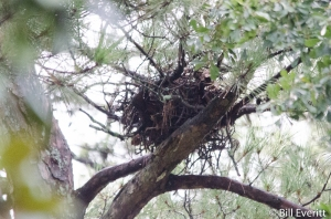 Red-tailed Nest in Pine
