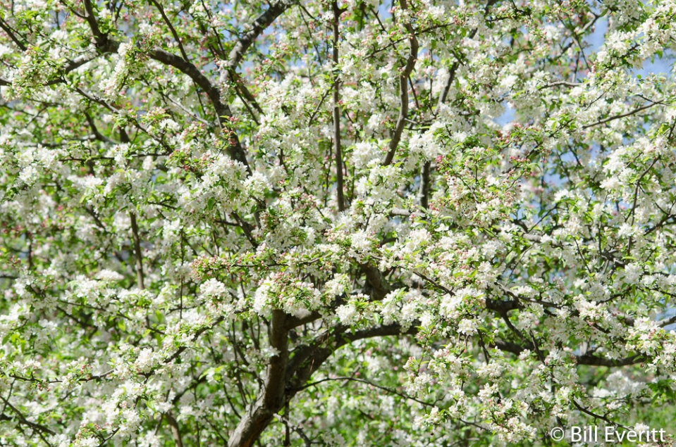 southern-crabapple2