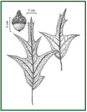 southern-red-oak