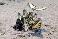 swallowtail_group_puddling